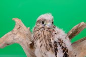 foto of driftwood  - young chick hawk sitting on a wooden driftwood on a green background - JPG