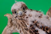 stock photo of driftwood  - young chick hawk sitting on a wooden driftwood on a green background - JPG
