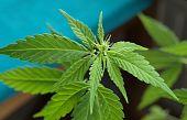 Flower and leaves of marijuana plant