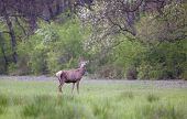 picture of antlers  - Red deer with growing antlers standing on grassland in forest in springtime - JPG