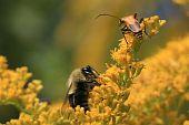 Soldier Beetle & Honey Bee