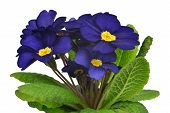 picture of primrose  - Spring flower Primrose isolated on white background - JPG