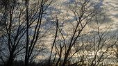 stock photo of locust  - Locust Tree Silhouettes Against a Partly Cloudy Twilight Sky - JPG