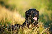 foto of long tongue  - portrait of black labrador dog lying on long grass - JPG
