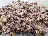 picture of garden snail  - A lot of garden snails together in the same place - JPG