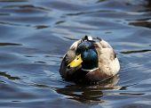 picture of duck pond  - A male mallard duck  - JPG