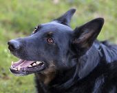 stock photo of shepherd dog  - A male German Shepherd Dog Belguim Malinois mixed breed headshot portrait - JPG