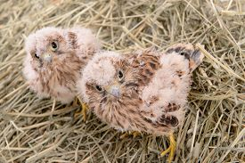 pic of falcons  - two young falcon bird sitting in a straw nest - JPG