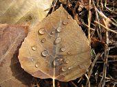 Waterdrops On Aspen Leaf