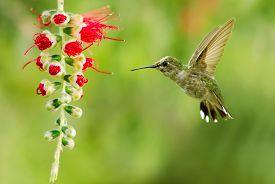 stock photo of hummingbirds  - Hummingbird  - JPG