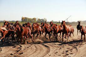 pic of shadoof  - Herd of horses running throgh the desert summertime - JPG