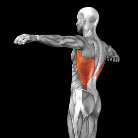 stock photo of triceps brachii  - Concept or conceptual 3D back human anatomy or anatomical and muscle isolated on black background - JPG