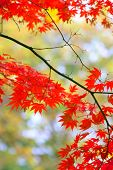 Fall colors on japanese maple tree