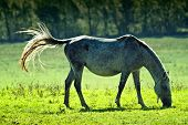 picture of lipizzaner  - Wild horse on meadow - JPG