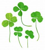 Lucky four leaf clovers