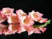 stock photo of gladiola  - Summer peach gladiola reflected on a mirror on black - JPG