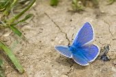 image of blue butterfly  - Common Blue Butterfly basks on dry cracked earth