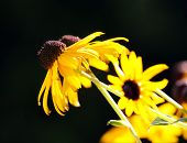 foto of prairie coneflower  - View of yellow coneflowers on black background  - JPG