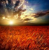 Field of wheat and sunset