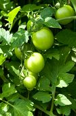 stock photo of tomato plant  - tomato plant in the gerden - JPG
