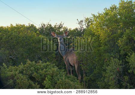Female Kudu Or Koodoo Antelope