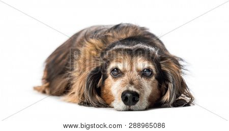 poster of Old Dachshund ,badger dog, sausage dog, wiener dog lying in front of white background