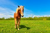View Of Graceful Horse On The Green Meadow.rural Landscape Cute Horse Between Yellow Dandelions In S poster