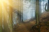Conifer Forest With Sunrays In Misty Weather poster