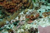 Spotted Scorpionfish Hiding on a Coral Reef