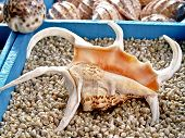 Seashell Lambis Truncata