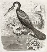 Anhinga old illustration (Anhinga anhinga). Created by Kretschmer, published on Merveilles de la Nature, Bailliere et fils, Paris, ca. 1878