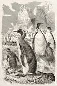King penguin old illustration (Aptenodytes patagonicus). Created by Kretschmer and Illner, published