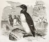 Common Murre old illustration (Uria aalge). Created by Kretschmer and Wendt, published on Merveilles de la Nature, Bailliere et fils, Paris, ca. 1878