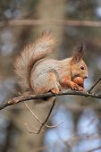 Squirrel Eat Nut On Tree, Rodent, Forest, Animal, Fauna, Nature poster
