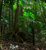 tropical rain forest pristine unspoilt jungle in Daintree national park Cape Tribulation, Australia,