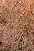 Background With A Bush With Dry Branches. Bush Thickets. Dense Undergrowth. poster