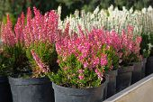 Seedlings Of Pink And White Heather Bushes In Pots In Garden Store. Nursery Of Various Green Plants  poster
