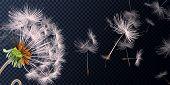 Vector Illustration Of Spring Dandelions On Transparent Background. Dandelion Seeds Blowing From Ste poster
