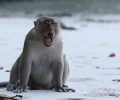 Monkey sitting on a sand and gaping