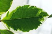 Nature Background.nature Photo Of Ficus.green Leaves Close-up.close Up Natural View Of Green Leaf. N poster
