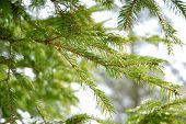 Conifer Branchlets.