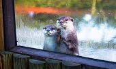 A Pair Of Asian Small-clawed Otters (amblonyx Cinereus) Peer Out Of Their Enclosure. poster
