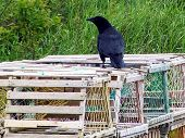 Crow on Lobster Pots