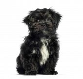 Mixed-breed dog, 3 months old, sitting in front of white background poster