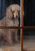 An Apricot Poodle sitting in front of a rain soaked window. Dog looks lonely and sad. Vertical forma