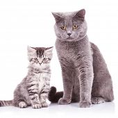 two adorable english cats, an adult and a cub looking at the camera and standing on a white backgrou
