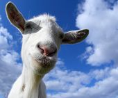 Portrait of a funny goat looking to a camera over blue sky background. Focus on the nose