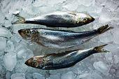 fresh herring on ice close up
