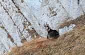 Carpathian Chamois rest in Piatra Craiului Mountains National Park