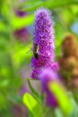 Billards Spirea - bee